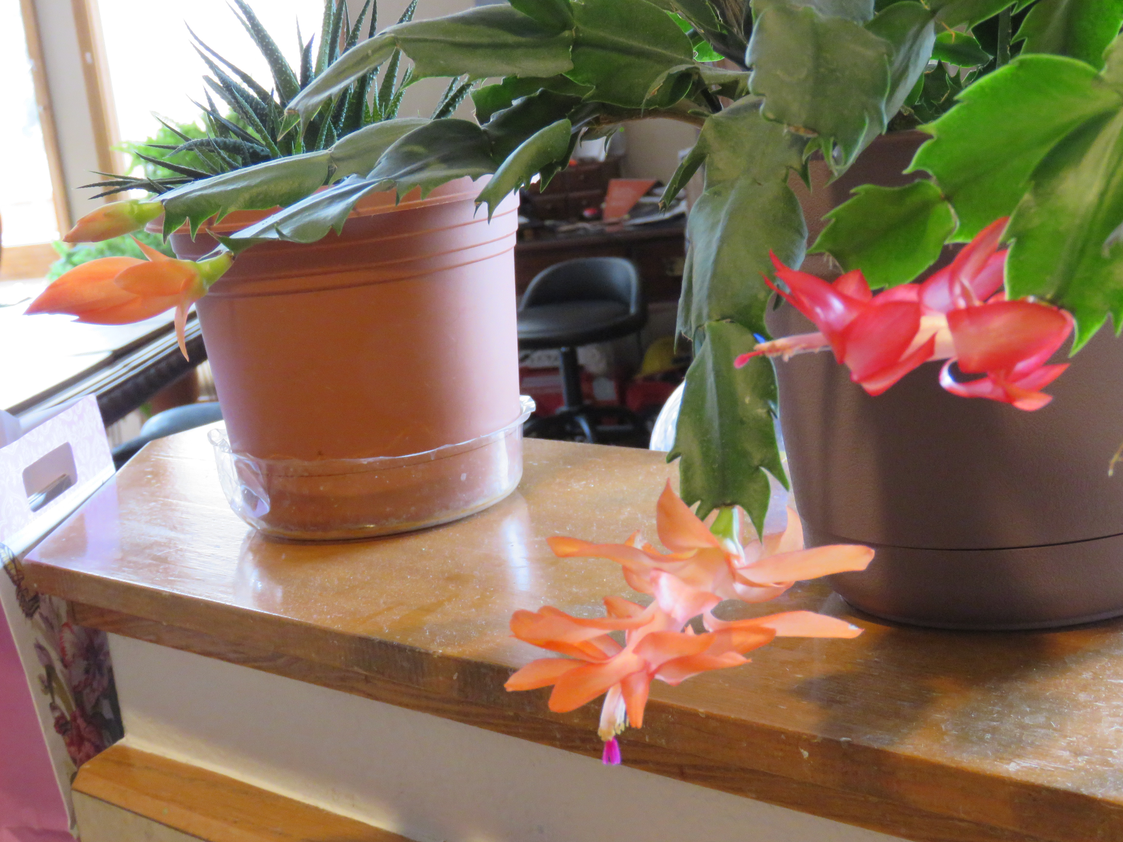 Four Christmas cactus blooms