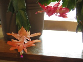 two Christmas cactus blooms