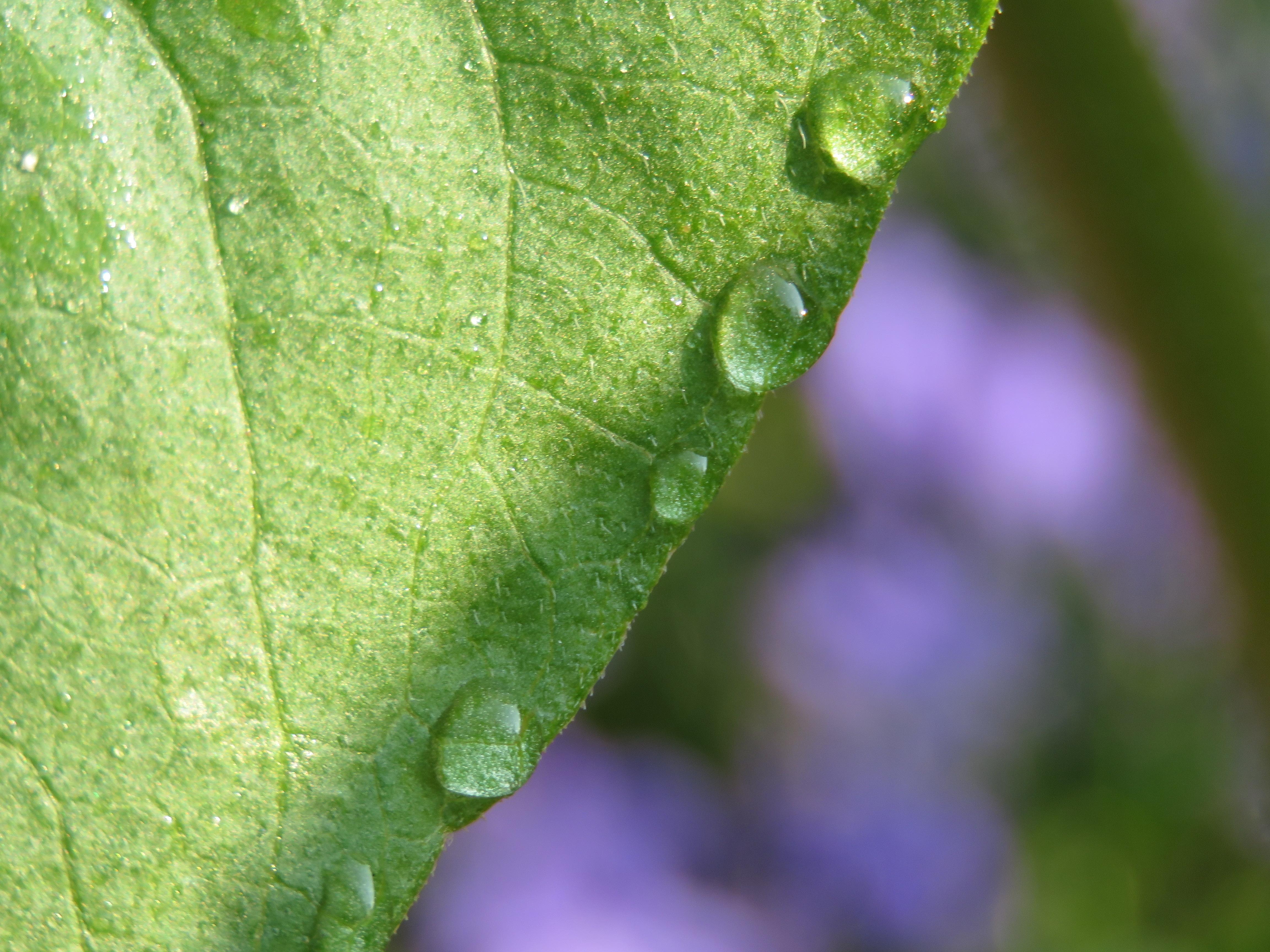 leaf edge drops