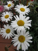 Daisies by six