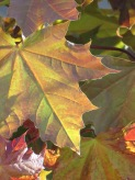 Maple leaf edged in light