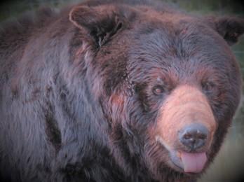 bear lightened