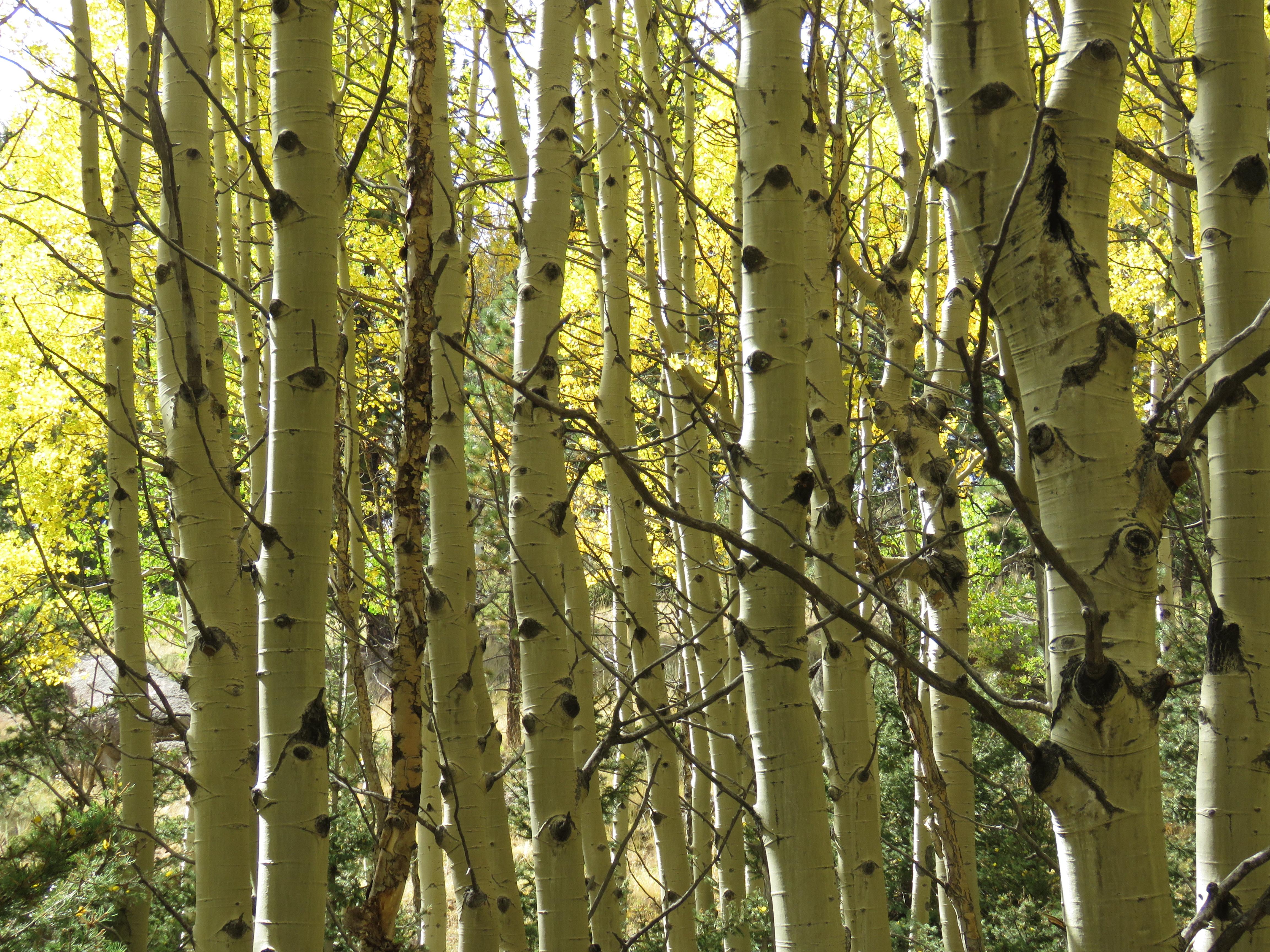 birch trees in grove