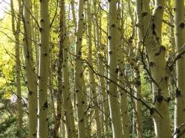 birch trees in grove