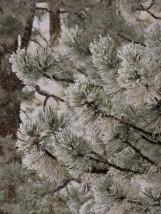 gray on gray snow needles, contrast